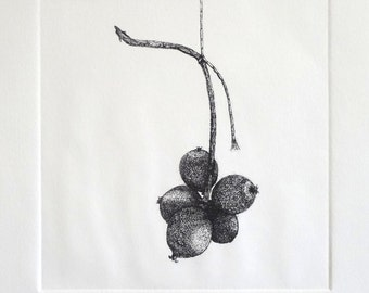 Bell Gardenia Seed Pod, Tethered, Monochrome, Etching, Limited Edition, Hand Pulled, Still Life, Intaglio, Printmaking, Work on Paper