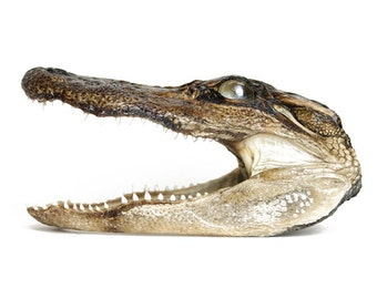 Real Alligator Head Taxidermy Preserved Alligator 5-6""