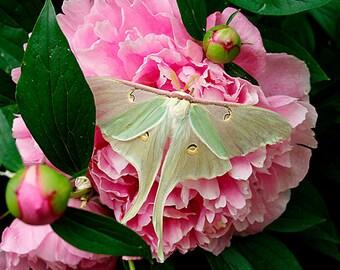 Pink Peony Flower Wall Art Photo,Pink Peony Flower Photograph,Luna Moth,Pink Peony Flower Photo,Pink Peony Photo,Pink Wall Art,Pink Flower