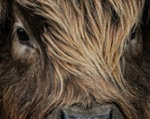 Close up portrait of the face of a long haired Highland Bull Calf