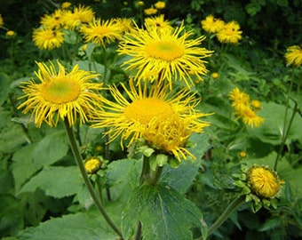 Elecampane Seeds, Herb Seeds, Naturally Grown in the Pacific NW