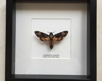 Deaths Head Hawk Moth Frame