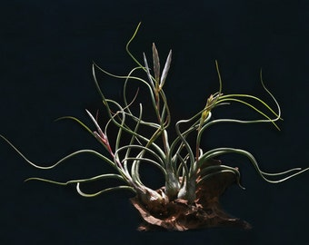 Pseudobaileyi Air Plant Tillandsia | 5-6 inches