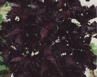 Seeds Herb Perilla Vegetable Organic Heirloom #539