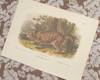 Vintage Wildlife Illustration - The Jaguar - Audubon Book Plate