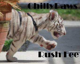 ChillyPaws' Rush Fee