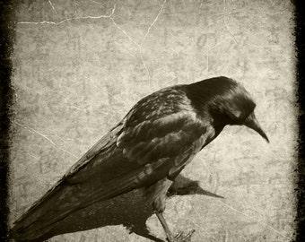 Sepia Crow Raven Photograph--Curious Crow--Fine Art