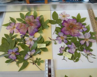 Choose your Real Alaskan Wild Roses, Buds, and Leaves Sitka Rose Pressed and Preserved 1189 FL