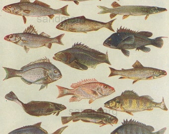 1906 Edwardian Chart of North American Food Fish Chromolithograph