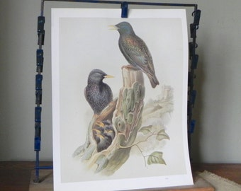 Vintage book plate print art print of two black bird with speckled feathers with young in nest in tree stump with moss on it