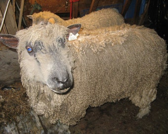 ADOPT The new kid on the farm Wensleydale ram for1 year