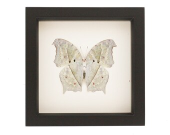 Framed Butterfly Taxidermy Mother of Pearl Underside