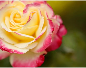 Pink & Yellow Rose Flower Fine Art Canvas wrap -Washington -Pacific Northwest -Macro