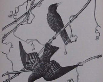 Menaboni's Birds/STARLING/1950s Black and White Plate/Bookplate/Unframed Vintage Book Page