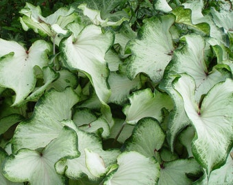 Caladium - White Wing - Strap Leaf - Lot of 10 Bulbs