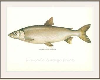 Vintage Fish Print, 1968, The Houting (53) Fresh and Salt Water Fish, Jiri Maly, Ichthyology,