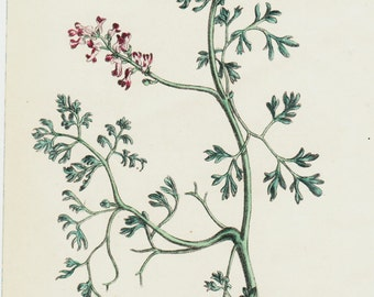 1863 Antique FLOWER print, handcolored Fumatory, Original antique botanical print of wild flowers