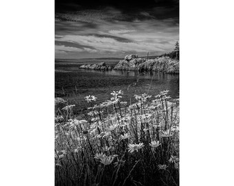 Shoreline Daisies in Acadia National Park on Mount Desert Island in Maine No.BW083 A Fine Art Seascape Flower Photograph