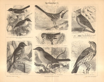 1890 Passerines, Songbirds, Lesser Whitethroat, Wagtail, Crested Lark, Chaffinch, Pallas's Warbler, Nightingale, Song Thrush Antique Print