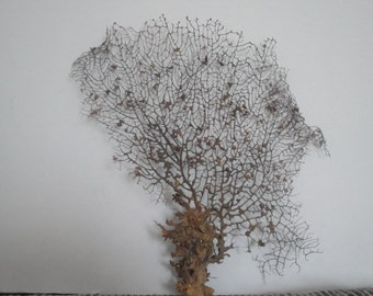 "13"" x 14"" Natural Black  Color Gorgonian Sea Fan Fish Tank Seashells Reef Coral"