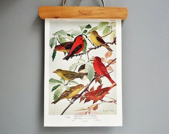 Antique Bird Book Plate - Scarlet Tanager - 1940s