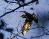 Journey- Crow in flight, Rook photograph, corvid print, crow through trees photo, black bird in flight, healing art, spirit guide