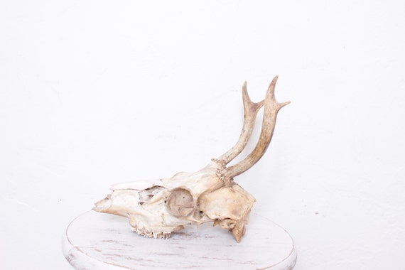 Antique Large Real Taxidermy Deer Antler for Country Cabin Look by Intrepid Treasures