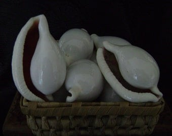 White Cowrie Shells