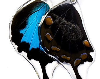 Real Butterfly Wing Pendant, Mountain Blue Swallowtail (bottom/hind wing)