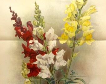 RARE Antique Botanical 1880s Print Color Lithograph SNAPDRAGONS Flower Floral 1884 Horticulture Gardening Home Decor Floristry