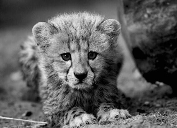 Black And White Photography Cheetah Cheetah Photo Black Amp White