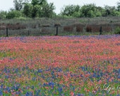Texas Colors - Wildflowers, fine art print, landscape photography, Texas, Hill Country, western, spring, flowers, bluebonnets