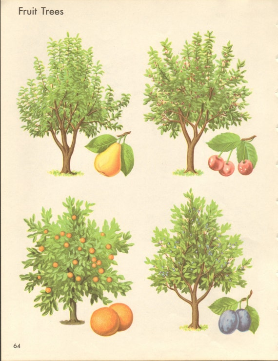 Articles similaires arbres d 39 ombrage et d 39 arbres - Dessin figuier ...