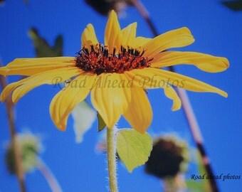 8 x 10 matted photograph, Sunflower photo,