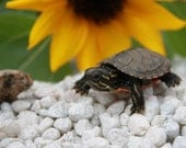 Turtle in the Rocks Sunflower 8x10 or 16x20 Professional Print Fine Art Photography Nature Print