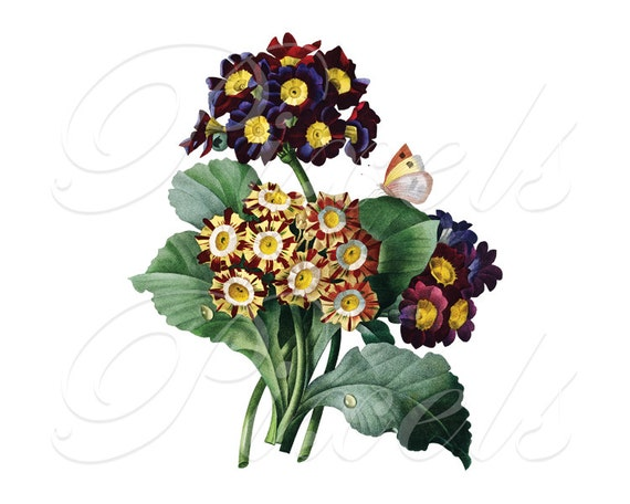 PRIMULA Instant Download Large Digital Image, spring flowers butterfly clipart images Redoute 047
