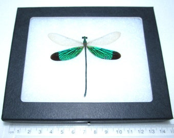 Real green dragonfly framed insect