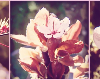 Antique Pink Blossoms, Floral, Fine Art Photography, Wall Decor, THREE SQUARE SET
