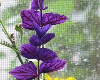 Heirloom Blue Monday Sage, Perennial, Bright Blue, 20 Seeds