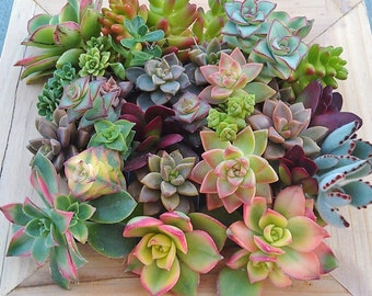 Spring sale Rainbow of Succulents DIY love garden assorted clippings living plants gifts presents eco friendly earth day mothers day