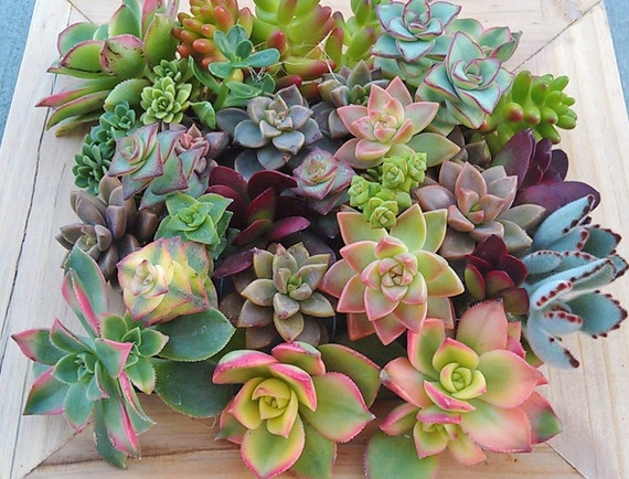 Spring Sale Rainbow Of Succulents DIY Love Garden Assorted Clippings Living  Plants Gifts Presents Eco Friendly Earth Day Mothers Day From TerrabyTerri  On ...