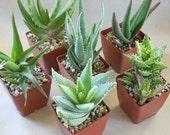 Succulent Aloe Plants 4 Assorted 3 Inch Pots