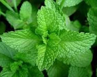 Peppermint Herb Seeds - NO GMO Non-Hybrid Organic Seed Packet
