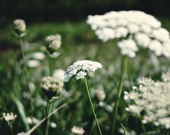 Nature photography, flower photography, queen annes lace, wildflowers, cream, green wall art, field, summer, cottage decor, 8x10 11x14 print