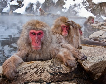 Japanese Snow Monkeys -  (8 x 12 inch photograph print)