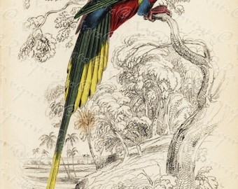 Original Antique  Hand Colored Natural History Prints-  Parrot- Charmosyna Papuensis
