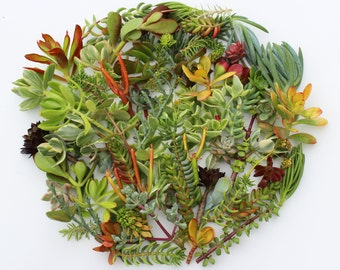 set of 100 succulent cuttings 100 succulent clippings perfect for succulent centerpieces succulent wreaths wedding favors home decorating