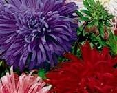 250 - Bulk Aster Seeds - Giants of California - Mixed Aster Seeds, Heirloom Aster Seed, Heirloom Flower Seed, Bulk Aster Seeds, Bulk Flowers