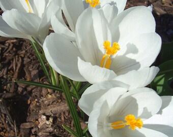 Crocus photograph, spring bulbs, macro photography,  flowers
