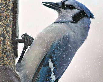 "Blue Jay in Snow   5"" x 7"" Print"